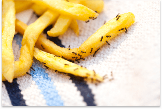 Ants on Fries