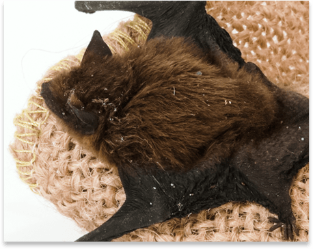 Bat Splayed Out