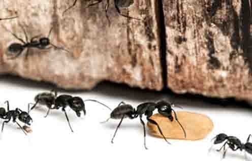 Carpenter Ant Control Mobile Header