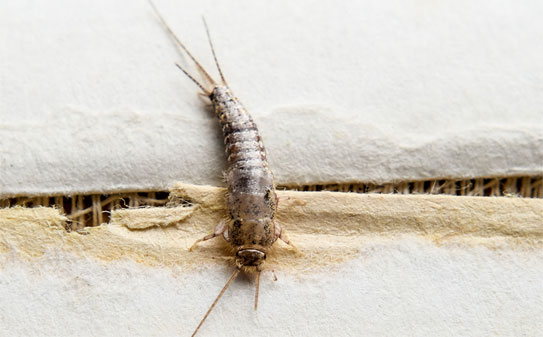 Silverfish Up Close Inspection