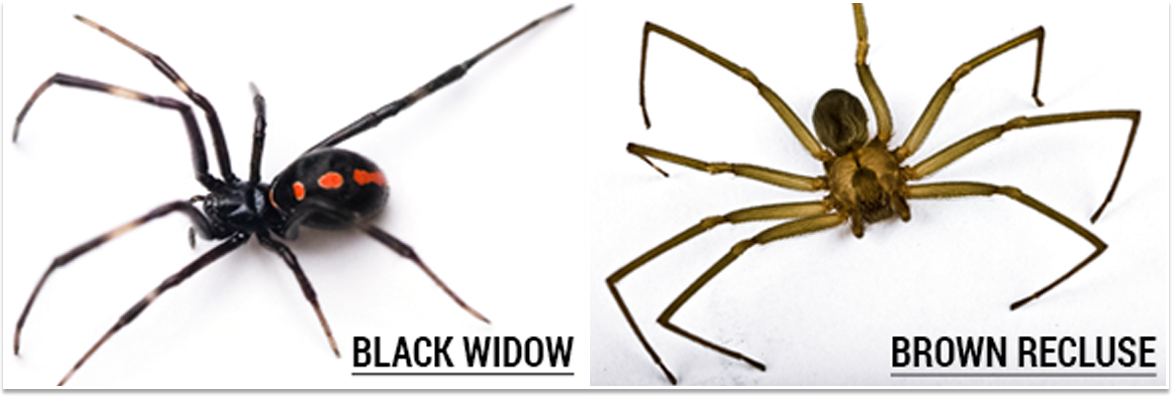 Black Widow and Brown Recluse